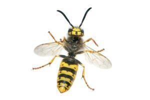 Wespe, Wespenstich, Insekt, Stich