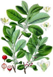 Mate-Strauch (Ilex paraguariensis), auch Matebaum