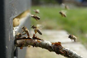 honigbienen , bienenstock , biene , imkerei , bienenkorb , wabe , honig , insekt , kolonie , pollen , beschäftigt , gelb , kamm , hummel , schwarm , wachs , fliegen , propolis , natur , wild , brown unternehmen , braune biene , propolis tropfen