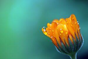 heilwirkung ringelblume , calendula , orange , blüte , sich öffnende knospe , garten-ringelblume , korbblütler , regentropfen , nach regenschauer , tropfen , nass , heilpflanze , sommerblume , pflanze , nahaufnahme ,