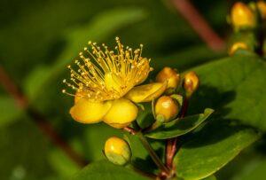 johanniskraut , hypericum perforatum , blüte , blume , sommer , natur , heilpflanze , pflanze ,