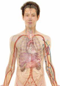 anatomie , mann , mensch , körper , haut , organe , schema , biologie , lehre , menschen , wissenschaft , medizin , krankenpflege , transplantation , Organtransplantation