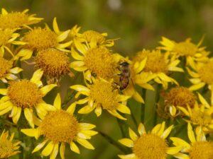 arnika , arnica montana , heilpflanze , blume , blüte , pflanze , flora , gelb, Heilpflanze, Heilkraut, Bergwohlverleih, Echte Arnika,