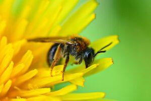 biene , insekt , tier , bein , flügel , kopf , löwenzahn , blume , bestäubung , fütterung , honig , nektar , frühlingszeit ,