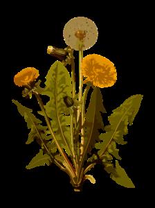 löwenzahn , kräuter , arzneimittel , medizin , pflanze , unkraut ,, heilpflanze, heilkraut