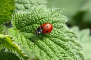 insekt , käfer , marienkäfer , marienkäfer käfer , tier , brennnessel-blätter , pflanze , tierwelt , flora , natur , nahaufnahme , Brennnessel , Urtica