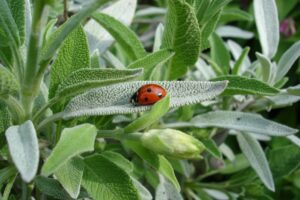 marienkäfer , salbei , pflanze , sommer , tier , natur ,, heilpflanze, heilkräuter