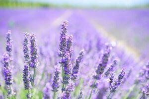 lavendel , blumen , feld , blüte , pflanze , flora , aromatischen , duft , lavendelblüte , lavendelfeld , lavendel anbau , lavendula , lamiaceae , duftende pflanze , heilpflanze , duftend , garten blumen , kräuter , lavendel wiese , sommer , garten , natur ,