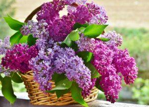 flieder , blumenkorb , blumen , pflanze , natur , lavendel , floral , blühend , blumenstrauß , blütenblatt , saison , frühling , gesteck , duft , blüte , lila , muttertag , wohlriechend , filigran , violett , blütentraum ,