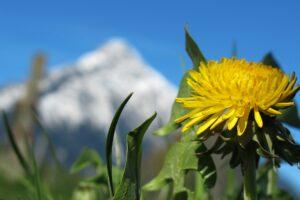 löwenzahn , natur , blume , frühling , sommer , blüten , gelb ,, heilpflanze, heilkraut , berge, schnee, frühling