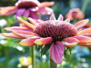 Sonnenhut, Heilpflanze, Heilkraut, Blüte, Blume, Arznei, Naturheilkunde, Phytopharmaka