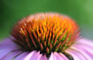 Echinacea, Sonnenhut, Heilpflanze, Heilkraut, Blüte, Blume, Arznei, Naturheilkunde, Phytopharmaka