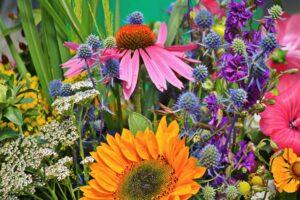 Echinacea, Sonnenhut, Heilpflanze, Heilkraut, Blüte, Blume, Arznei, Naturheilkunde, Phytopharmaka, blumenwiese