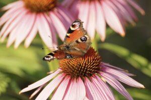 Echinacea, Sonnenhut, Heilpflanze, Heilkraut, Blüte, Blume, Arznei, Naturheilkunde, Phytopharmaka, schmetterling