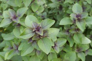 tulsi , gewürz , kräuter , lila basilikum , grüne blätter , indisches basilikum , heiliges basilikum, heilpflanze, heilkräuter, naturheilkunde, phytotherapie