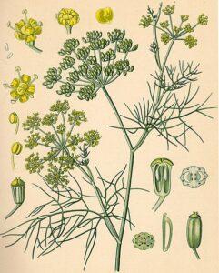 Fenchel (Foeniculum vulgare) Blätter, Früchte, Samen, Blüten