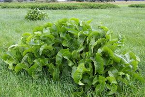 Meerrettich, Kren, Wurzel, Heilpflanze, Heilkräuter