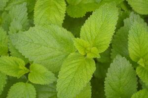 melisse , zitronenmelisse , küchenkraut , pflanze , melissa officinalis , grün , blätter , gewürzpflanze , heilpflanze , gartengewürzpflanze , zitronen-melisse ,