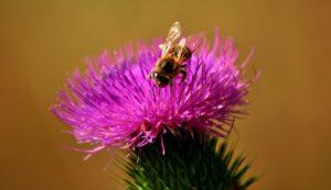 mariendistel , blume , blüte , pflanze , flora , distel , natur , asteraceae , lila , wild , silybum , wiese , verbundwerkstoffe , samen, früchte, leber, verdauung
