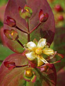 blüte , johanniskraut , hypericum perforatum , echtes johanniskraut , gelb , blume , wildblume , heilpflanze , wiesenblume , johanneskraut
