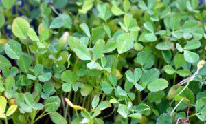 bockshornklee , kraut , gewürz , grüne blätter , pflanze ,
