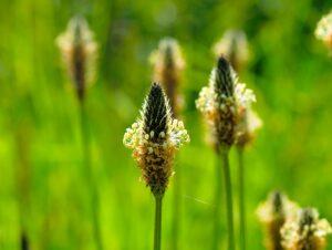 natur , gras , feld , sommer , pflanze , wiese , blume , wachstum , ländlich , saison , blatt , schönwetter , leuchtend , umgebung , klein , nahaufnahme , makro , spitzwegerich , frühling ,