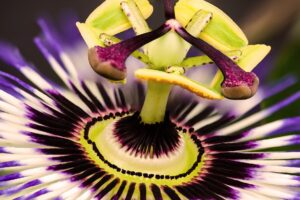 natur , blumen passionsblume , passiflora , blüte , blütenstempel , nektar , makro , sommer , exotisch ,