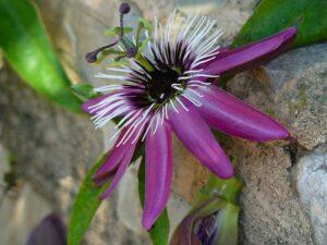 passionsblume , passiflora , blume , blüte , lila , flora , schönheit , pflanze , passionsblumengewächse