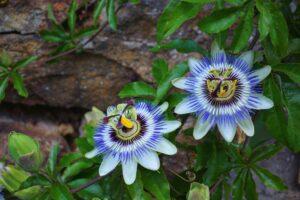 passionsblume , blume , botanik , natur , blaue passionsblume , garten , blüte , blau , aufgeblüht , creeper , flora , heilpflanze ,