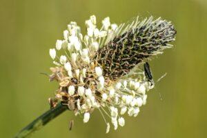 spitzwegerich, heilpflanze, heilkraut, naturheilkunde, Spießkraut, Lungenblattl oder Schlangenzunge , wunden, husten