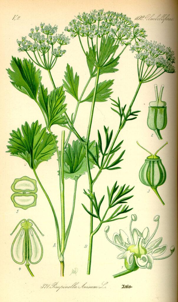 anis , samen , spaltfrüchte , doldenblütler , blütenpflanze , pimpinella anisum , wiese , wegrand , gewürzpflanze , küchengewürz , heilpflanze , gewürz , nahaufnahme , makro ,