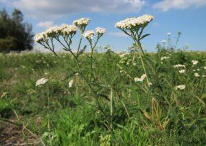 achillea millefolium , schafgarbe , gemeinsamen schafgarbe , botanik , wildblumen , flora , arten , pflanze , blühen ,