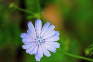 wegwarte , zichorie , gemeine wegwarte , blüte , blume , cichorium intybus , violett , korbblütler , blau , flora , hellblau , wildblume , pflanzenart , botanik , wegrand , pflanze , sommer , hellviolett ,