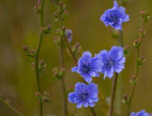 cichorium intybus , chicorée blumen , kornblume , wilde blumen , pollen , natur , chicoree , blau , blume , coffeeweed , wildblumen , bunte , wegwarte, Zichorie
