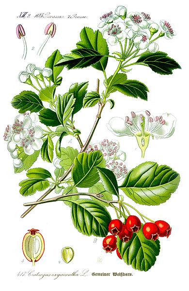 Crataegus Laevigata (Zweigriffeliger Weißdorn), Heilpflanze, Heilkraut, Blüten, Blätter, Früchte