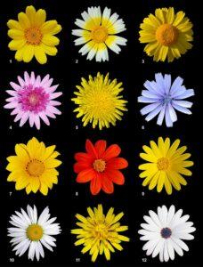 Korbblütler (botanisch Asteraceae oder Compositae), auch Körbchenblütler, Korbblütengewächse, Asterngewächse oder Köpfchenblütler, Allergie