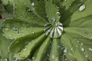frauenmantel , alchemilla , pflanzengattung , rosaceae , krautige pflanze , regentropfen , himmlisches wasser , heilpflanze , laubblätter , gelappt , gefingert , natur ,