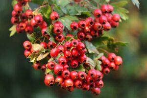 weißdorn , crataegus , rot , beeren , früchte , strauch , blätter , rosaceae , kernobstgewächs , busch , rosengewächs , pyrinae , apfeldorn , hecke , fruchtschmuck , natur , weißdornbeeren ,