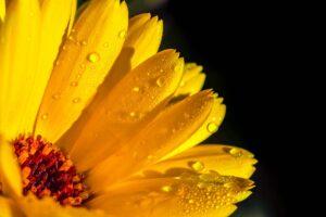 ringelblume , calendula , orange , blüte , garten-ringelblume , korbblütler , regentropfen , nach regenschauer , tropfen , nass , heilpflanze , sommerblume , pflanze , nahaufnahme , natur ,