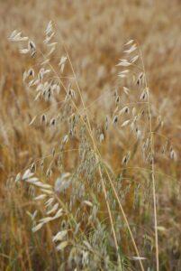 hafer , avena sativa , korn , pflanze , natürliche , botanischen , bio , botanik , kraut , landwirtschaft , im freien , umwelt , gartenbau , vegetation , laub ,
