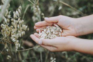 hafer , getreide , feld , lebensmittel , korn , gesund , ernährung , landwirtschaft , ernte , hand , halten , sammeln , tumblr-wallpaper ,