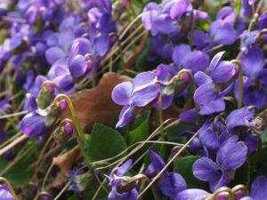 duftveilchen , veilchen , blume , blüte , violett , viola odorata , märzveilchen , wohlriechendes veilchen , veilchengewächs , violaceae , lila , frühling , frühlingsbote , duften , viola , krautige pflanze , rosettenpflanze , wald , natur , violen , duft , duftend