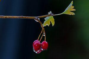 weissdorn , frucht , nass , weißdornbeeren , regenwetter ,