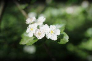 Weißdorn , blüten , blätter , klein , wildblumen , blühen , natur , frühlingsblumen , baum , wald , hecken , zart , fein , winzig , stimmungsbild , stimmungsvoll , wachstum , grusskarte ,