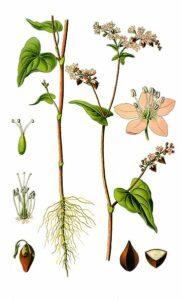 Echter Buchweizen (Fagopyrum esculentum), Heilpflanze, Heilkraut, Körner, Samen, Heilmittel