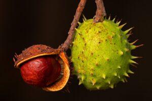 kastanie , rosskastanie , mutter , kastanien-frucht , herbstfrucht , stachelig ,