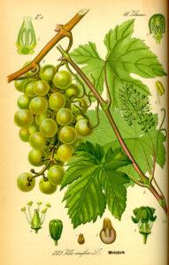 Edle Weinrebe (Vitis vinifera), Illustration, Weintrauben, Weinblätter, Weinlaub, Rotes Weinlaub