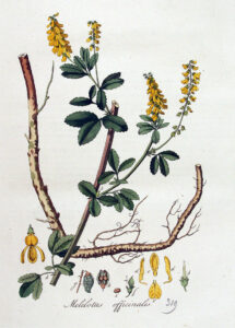Gelber Steinklee (Melolitus officinalis), Gewöhnlicher Steinklee, Echter Steinklee, (Gebräuchlicher) Steinklee und Honigklee