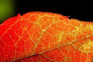 herbst , wilder wein , rot , gelb , laub , herbstlaub , färbung , vitis vinifera , blatt , rotfärbung , sonne , gegenlicht , adern , glänzen , makro , nahaufnahme ,