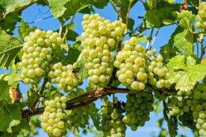 weintrauben , weinreben , weinrebe , weinberg , früchte , organisch , produzieren , ernte , weinbau , weinanbau , rebstock , anbau , landwirtschaft , natur , grüne trauben , reif , reife trauben , gesund ,